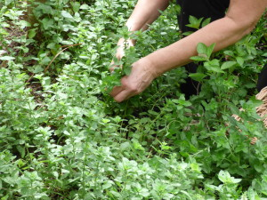 D harvesting oregano9