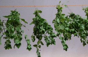 drying oregano 7 (2)